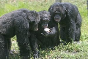 three_chimpanzees_with_apple