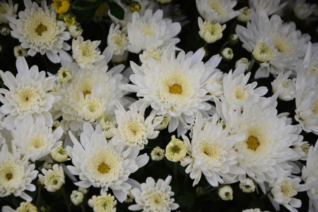 white-flowers-2810927_1920