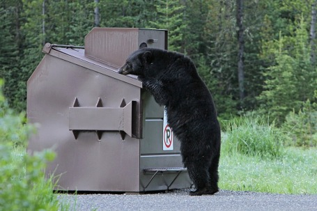 black-bear-1972219_960_720