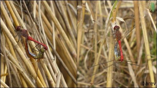 Mathis Dragonfly 3.jpg