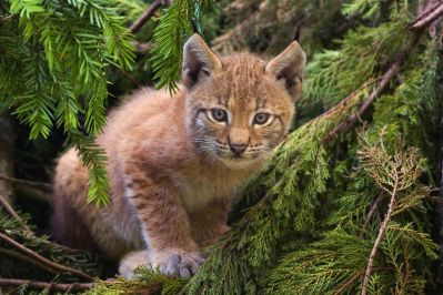 1280px-Lynx_kitten (5)
