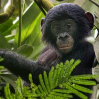 A Short Introduction to Our Lovely Relative – the Bonobo